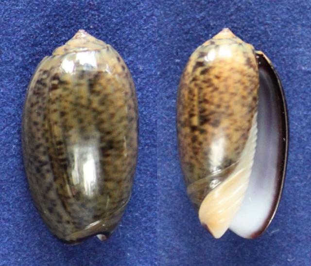 Carmione lecoquiana (Ducros de St Germain, 1857) - Worms = Oliva lecoquiana Ducros de Saint Germain, 1857 Panora72