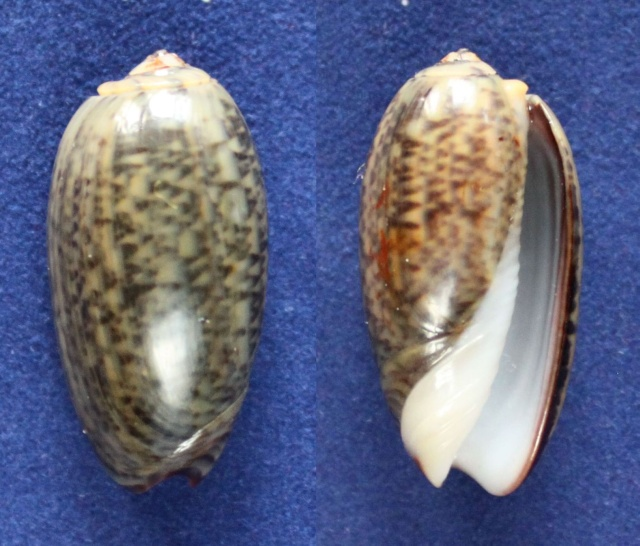 Carmione lecoquiana (Ducros de St Germain, 1857) - Worms = Oliva lecoquiana Ducros de Saint Germain, 1857 Panora73