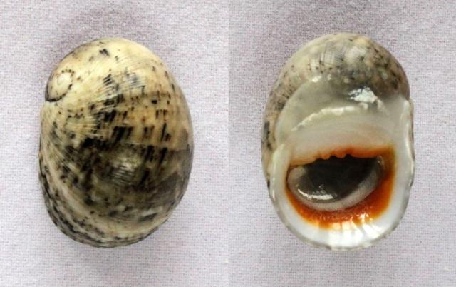 Nerita erythrostoma - Eichhorst & Neville, 2004  Panora78