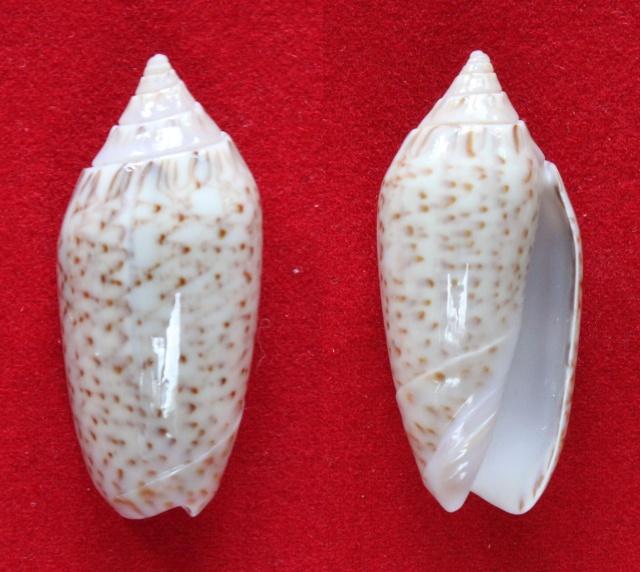 Americoliva spicata melchersi (Menke, 1851)  - Worms = Oliva spicata (Röding, 1798) Panora80
