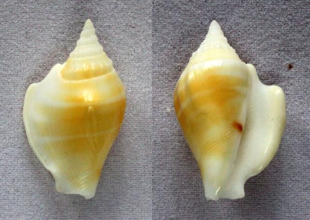 Dolomena variabilis - (Swainson, 1820) Panora82