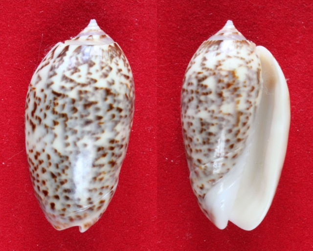 Americoliva julieta (Duclos, 1835) Panora87