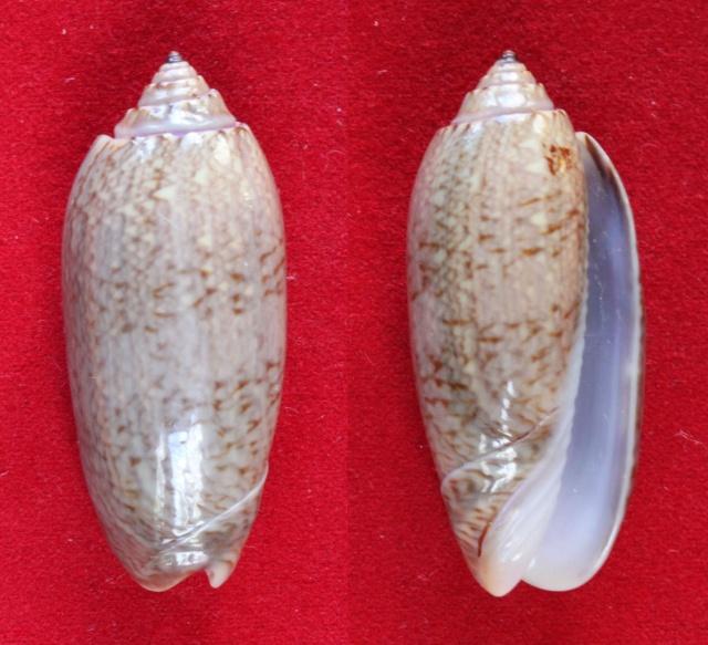 Cariboliva scripta venezuelana (Petuch & Sargent, 1986) - Worms = Oliva scripta Lamarck, 1811 Panora88
