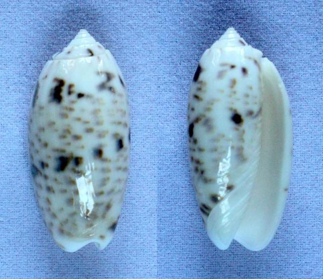 Miniaceoliva atalina (Duclos, 1835) Panora89