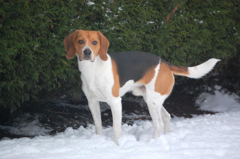 FILOU, beagle de 3 ans (59) en FA chez Fabou [Adopté] - Page 17 Dsc_0088