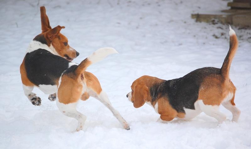 FILOU, beagle de 3 ans (59) en FA chez Fabou [Adopté] - Page 18 Dsc_0137