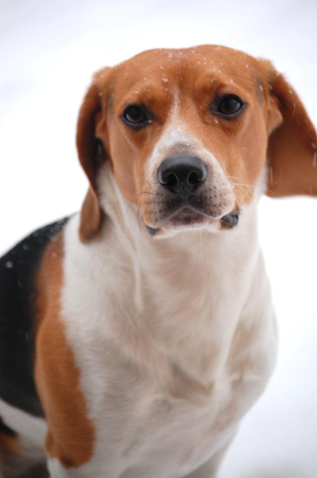 FILOU, beagle de 3 ans (59) en FA chez Fabou [Adopté] - Page 18 Dsc_0138