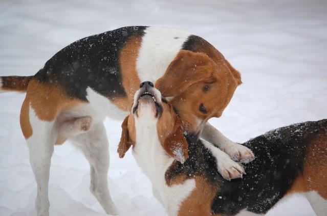 FILOU, beagle de 3 ans (59) en FA chez Fabou [Adopté] - Page 18 Dsc_0215