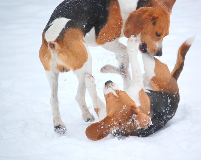 FILOU, beagle de 3 ans (59) en FA chez Fabou [Adopté] - Page 18 Dsc_0216