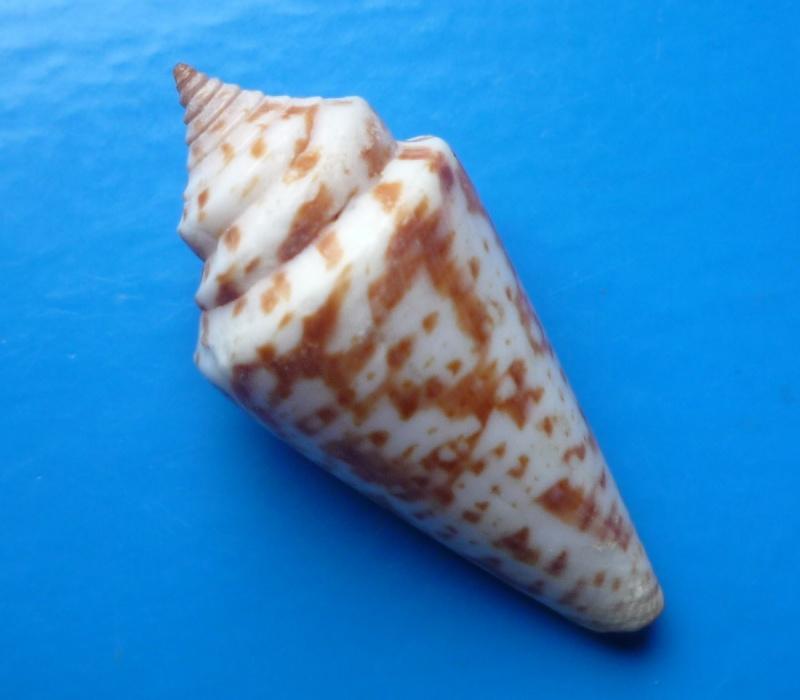 Conus (Dauciconus) regularis G.B Sowerby I, 1833 Conus133