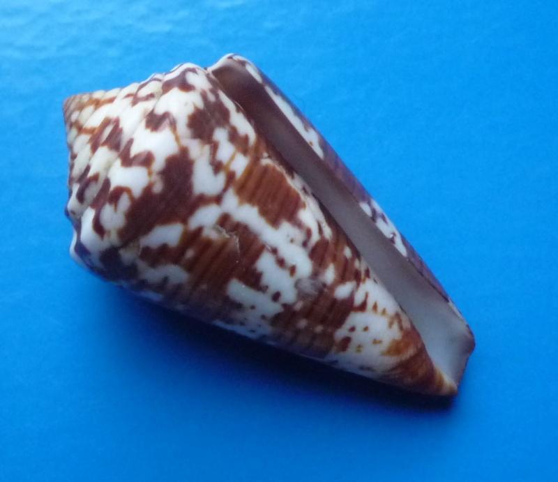 Conus (Strategoconus) splendidulus  GB Sowerby I, 1833 Conus144