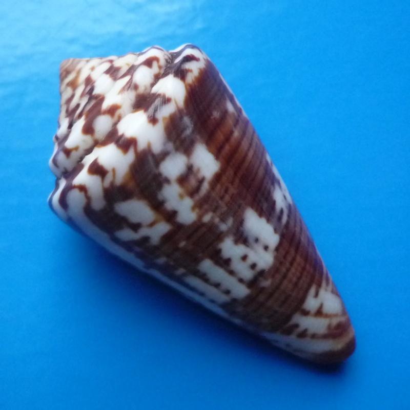 Conus (Strategoconus) splendidulus  GB Sowerby I, 1833 Conus145
