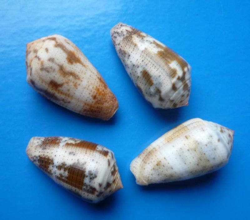Conus (Pionoconus) striolatus (Kiener, 1848) Conus146