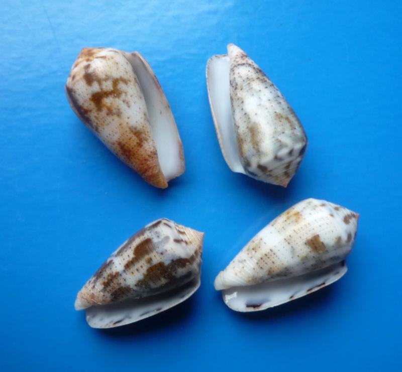 Conus (Pionoconus) striolatus (Kiener, 1848) Conus147
