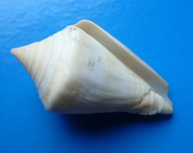 Conus (Dauciconus) stimpsoni   Dall, 1902 Conus152