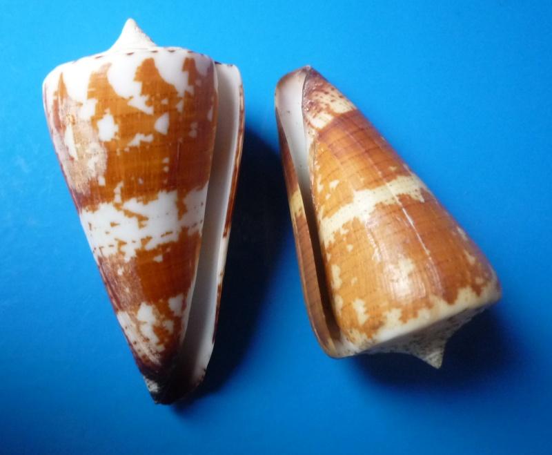 Conus (Strategoconus) maldivus   Hwass in Bruguière, 1792 Conus169
