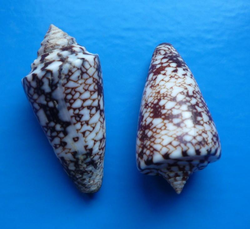 Conus (Leptoconus) locumtenens - Blumenbach, 1791 Conus179