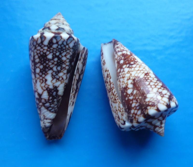 Conus (Leptoconus) locumtenens - Blumenbach, 1791 Conus180