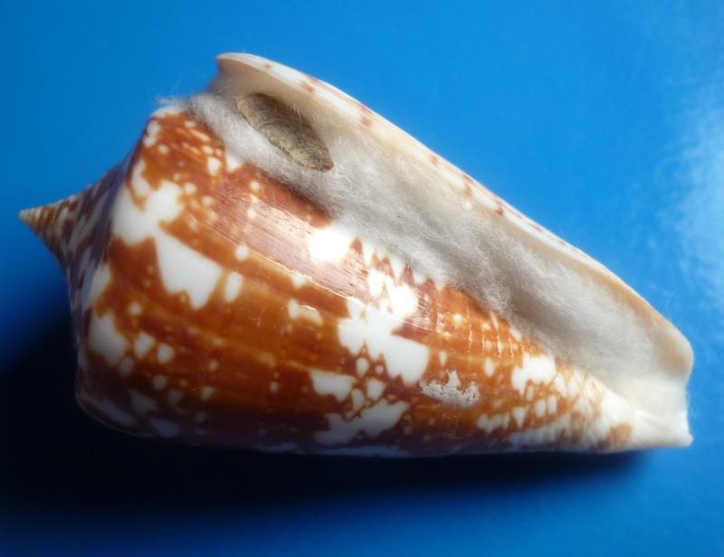 Conus (Leptoconus) amadis   Gmelin, 1791 Conus202