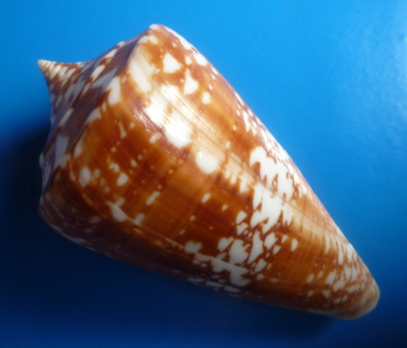 Conus (Leptoconus) amadis   Gmelin, 1791 Conus203