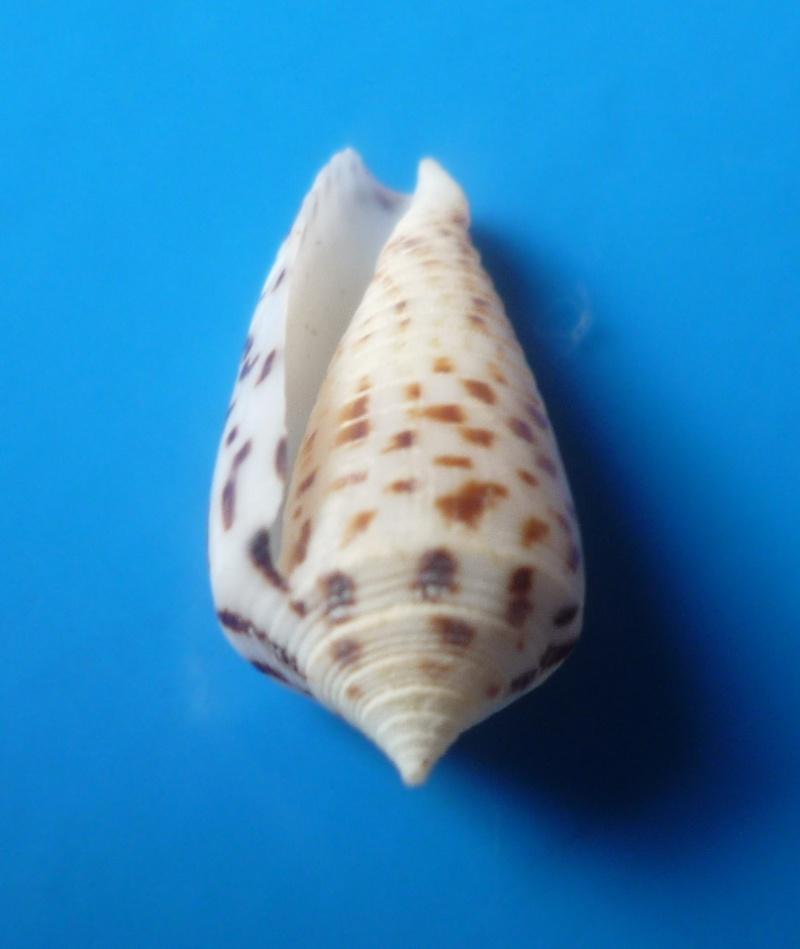 Conus (Phasmoconus) zapatosensis   Röckel, 1987 Conus250
