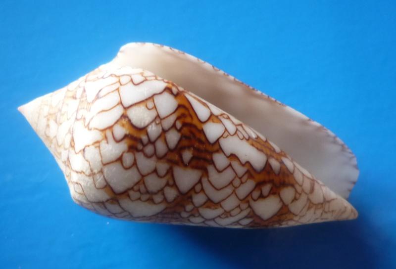 Conus (Cylinder) neovicarius   da Motta, 1982 Conus271