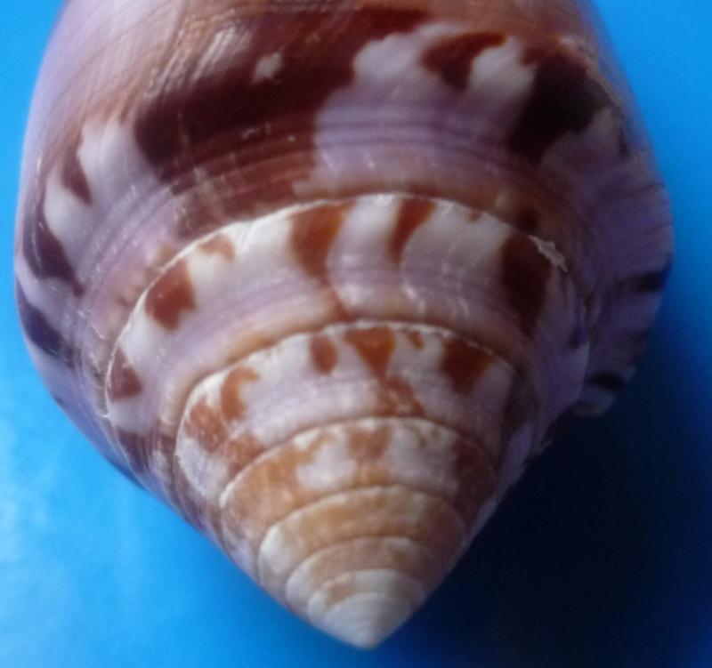 Conus (Pionoconus) circumcisus  Born, 1778 - Page 2 Conus310