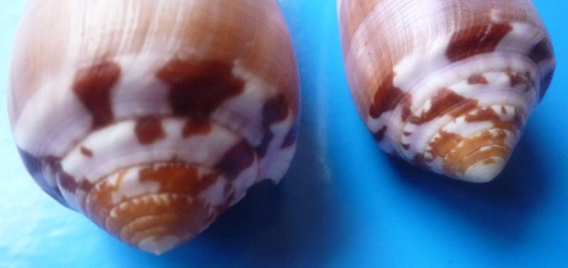 Conus (Pionoconus) circumcisus  Born, 1778 - Page 2 Conus313