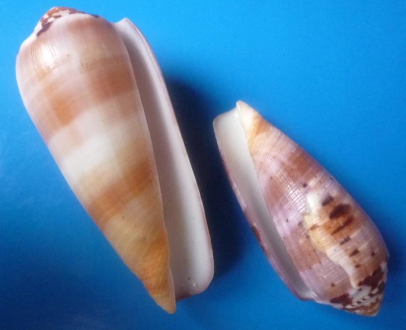 Conus (Pionoconus) circumcisus  Born, 1778 - Page 2 Conus314