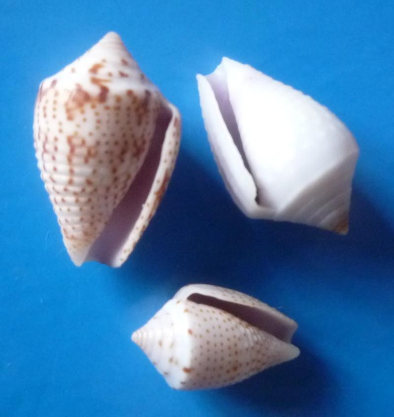Ximeniconus (Perplexiconus) puncticulatus (Hwass in Bruguière, 1792) Conus387