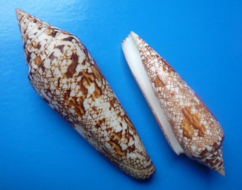 Conus (Cylinder) bengalensis   Okutani, 1968 Conus_55