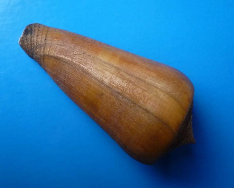 Conus (Pionoconus) consors  GB Sowerby I, 1833 Conus_59