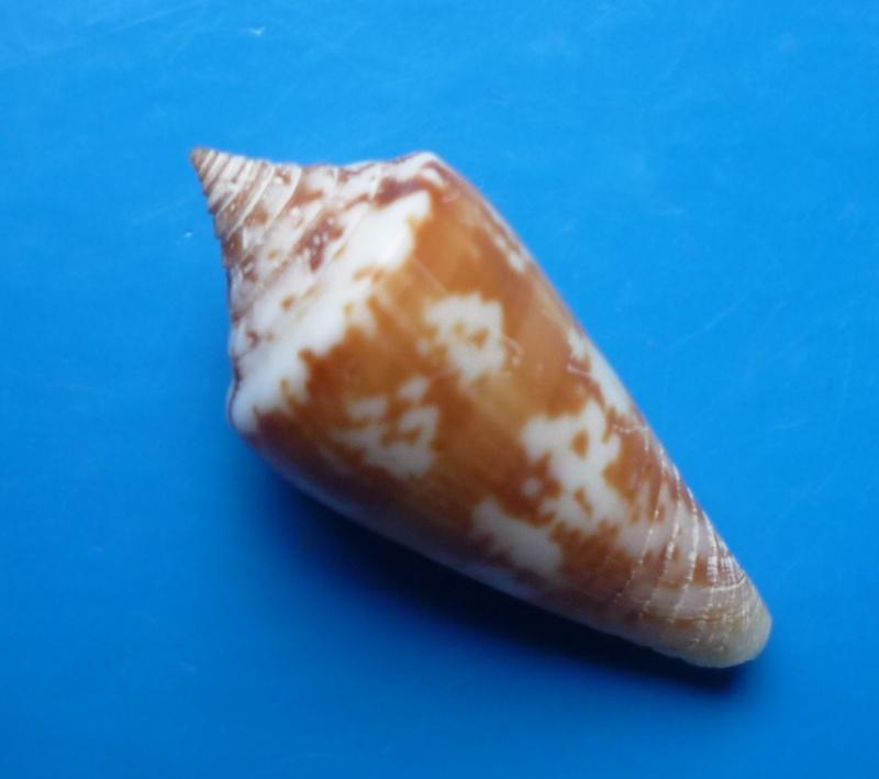 Conus (Phasmoconus) janus   Hwass in Bruguière, 1792 Conus_93