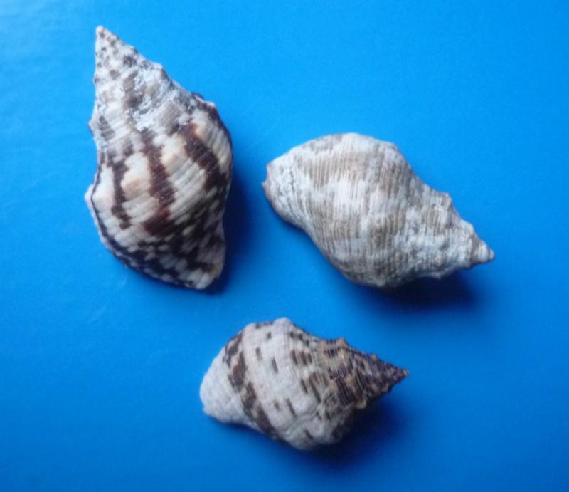 Stramonita rustica - (Lamarck, 1822) Rustic10