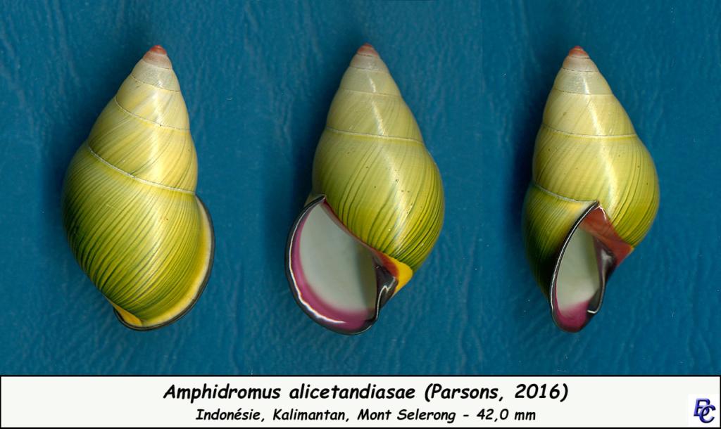 Amphidromus alicetandiasae (Parsons, 2016) Amphid10