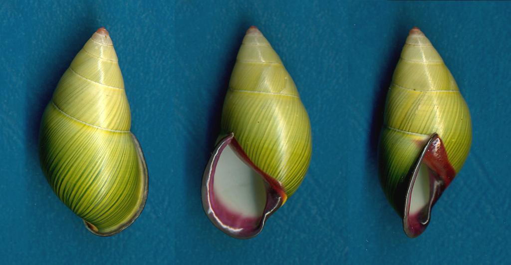 Amphidromus alicetandiasae (Parsons, 2016) Amphid11