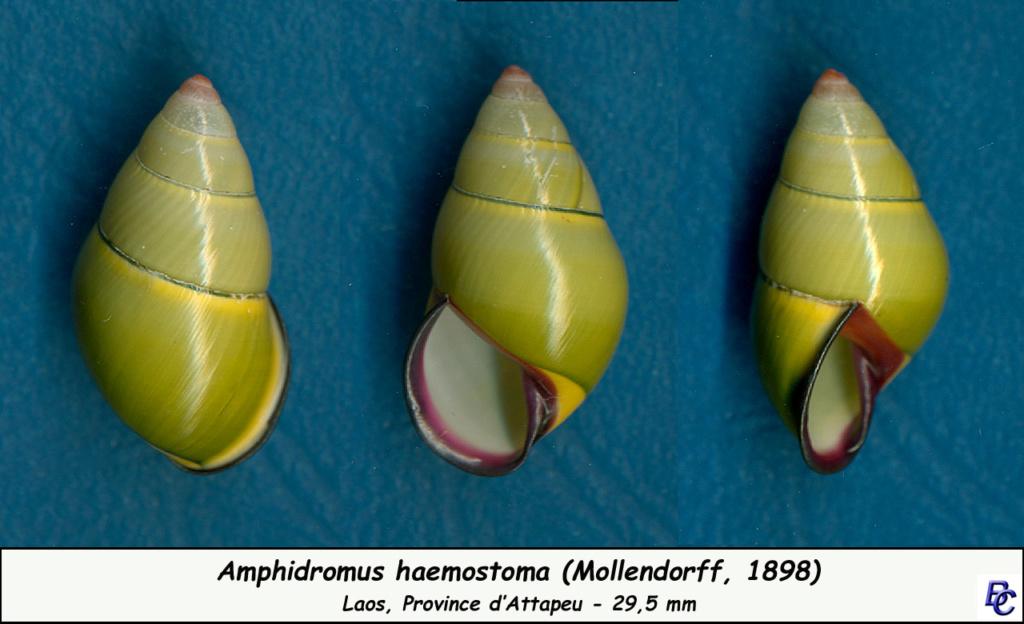 Amphidromus haemastoma (Mollendorff, 1898) Amphid13