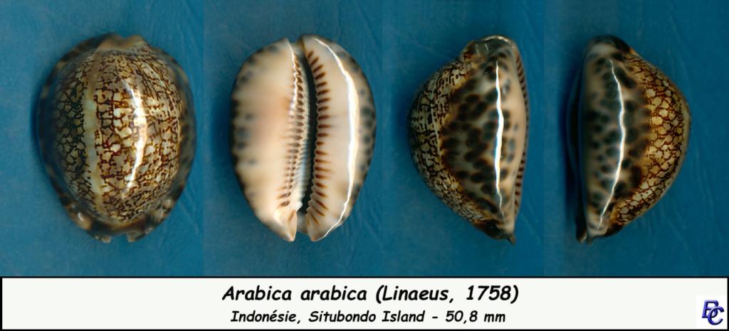 Mauritia arabica arabica - (Linnaeus, 1758)  - Page 2 Arabic10