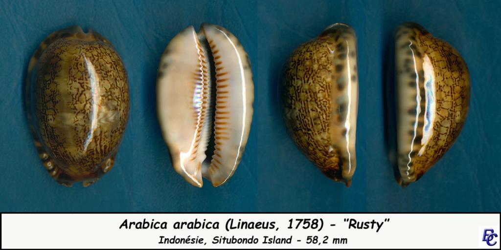 Mauritia arabica arabica - (Linnaeus, 1758)  - Page 2 Arabic11
