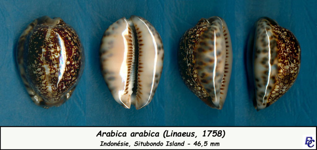 Mauritia arabica arabica - (Linnaeus, 1758)  - Page 2 Arabic12