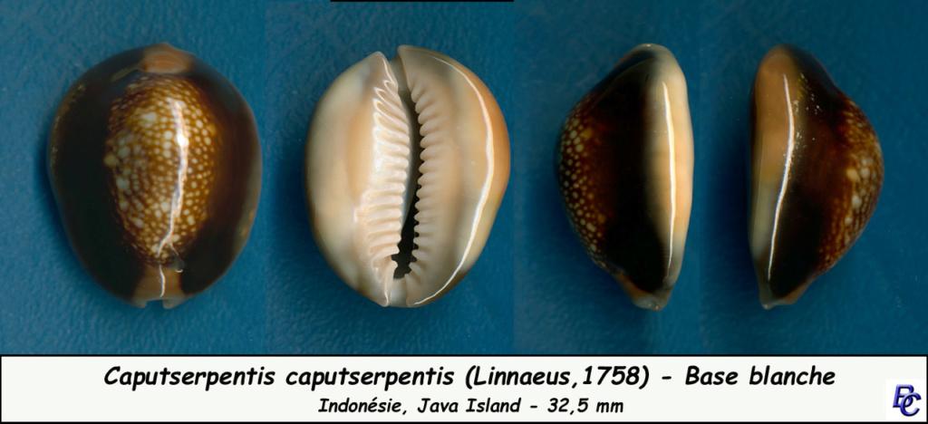 Monetaria caputserpentis caputserpentis - (Linnaeus, 1758) - Page 3 Caputs10