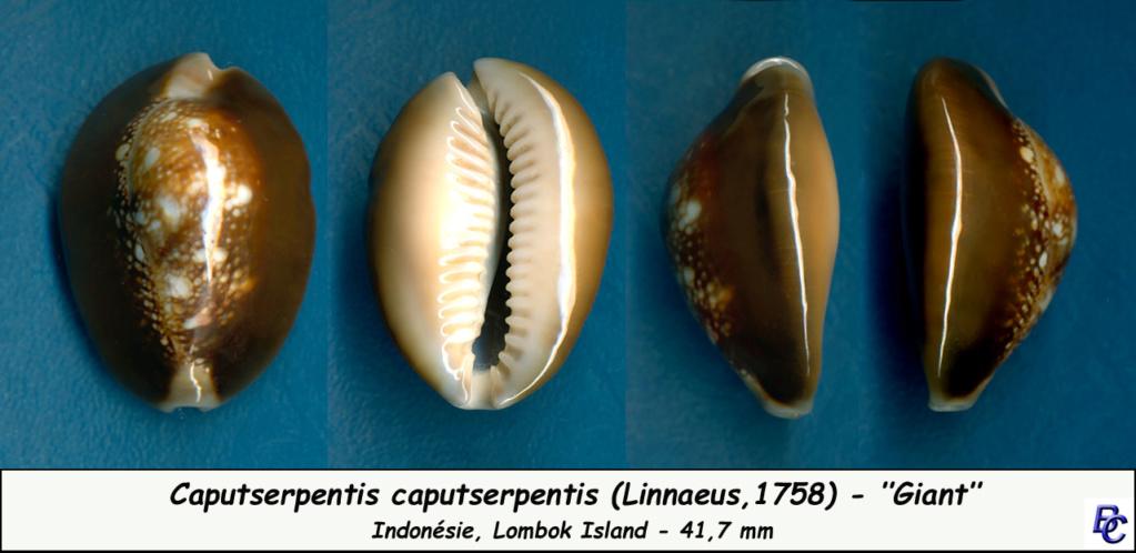 Monetaria caputserpentis caputserpentis - (Linnaeus, 1758) - Page 3 Caputs15