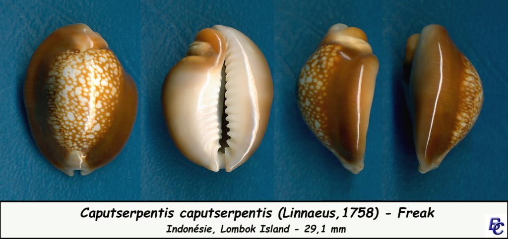 Monetaria caputserpentis caputserpentis - (Linnaeus, 1758) - Page 3 Caputs16