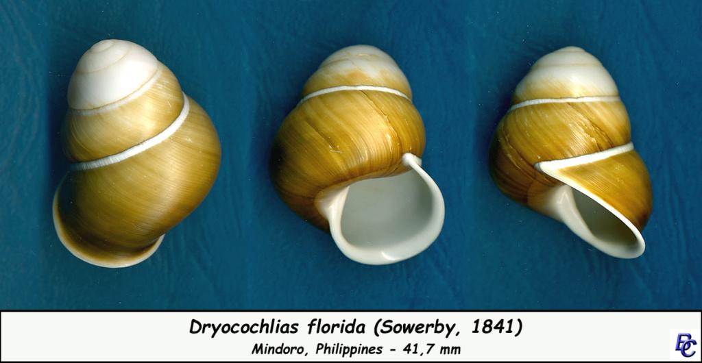 Dryocochlias florida (Sowerby, 1841) Dryoco10