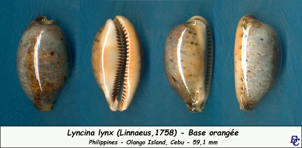 Lyncina lynx - (Linnaeus, 1758) - Page 4 Lynx_o10