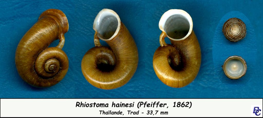 Rhiostoma hainesi (Pfeiffer, 1862) Rhiost17