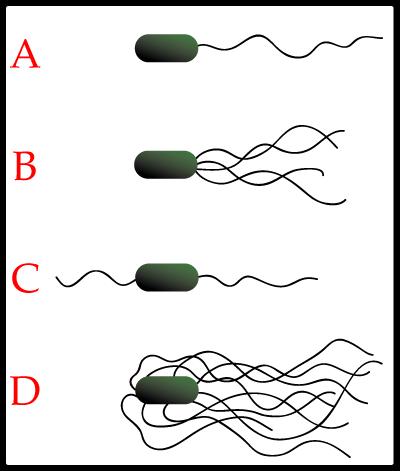 Apa itu Bakteri ? Flagel10