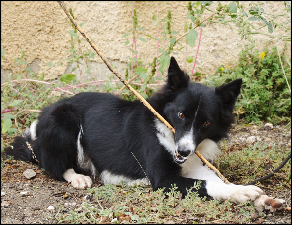 OURAL border collie 17913_12