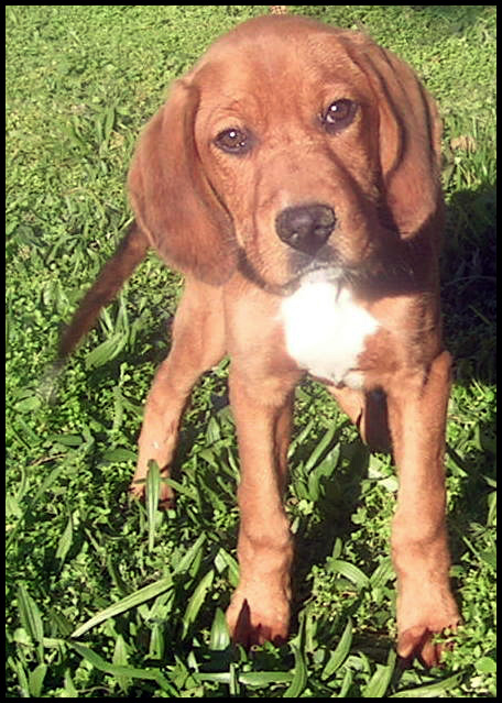 ICARE chiot beagle 5 mois Icare10