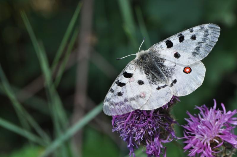 [Parnassius apollo et sacerdos](Papilionidae Parnassiinae)petit ou grand Dsc_0510